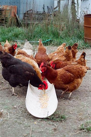 chicken_pellets