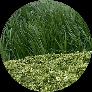 giant-king-grass
